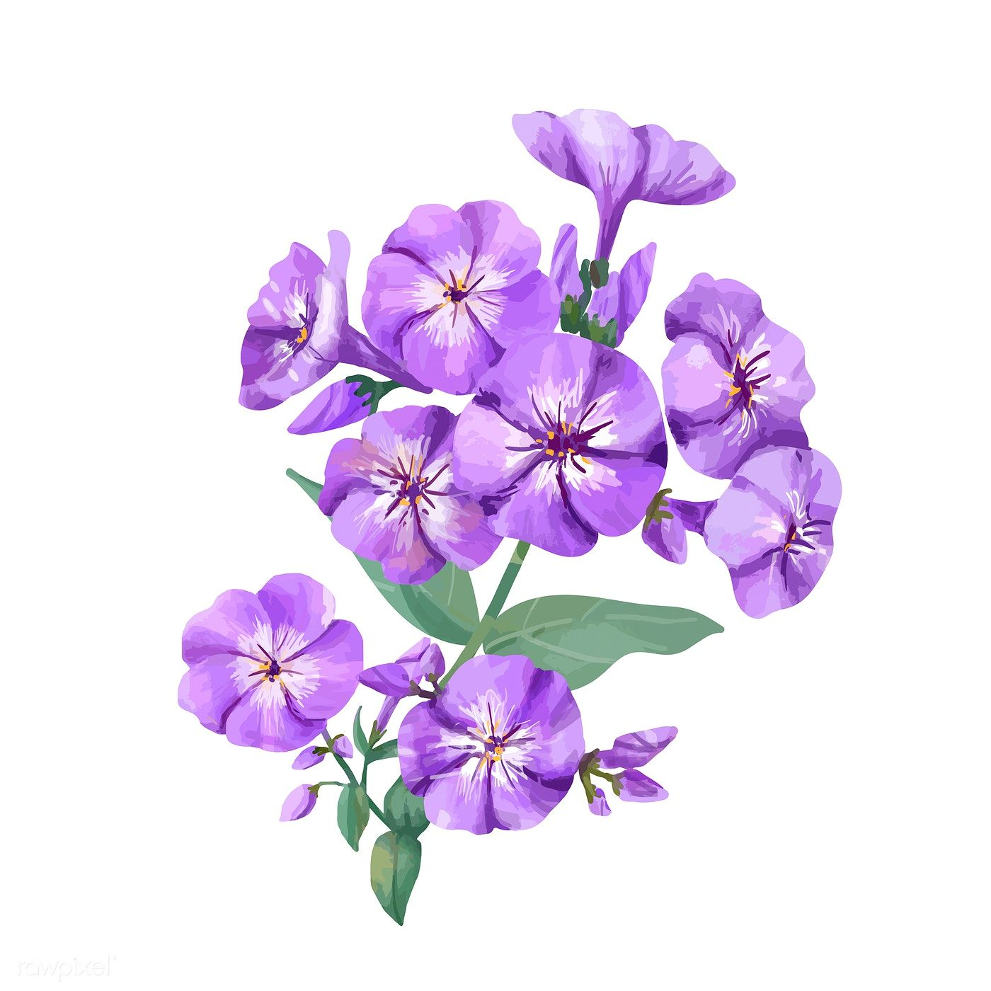 Download premium illustration of Hand drawn purple phlox ...