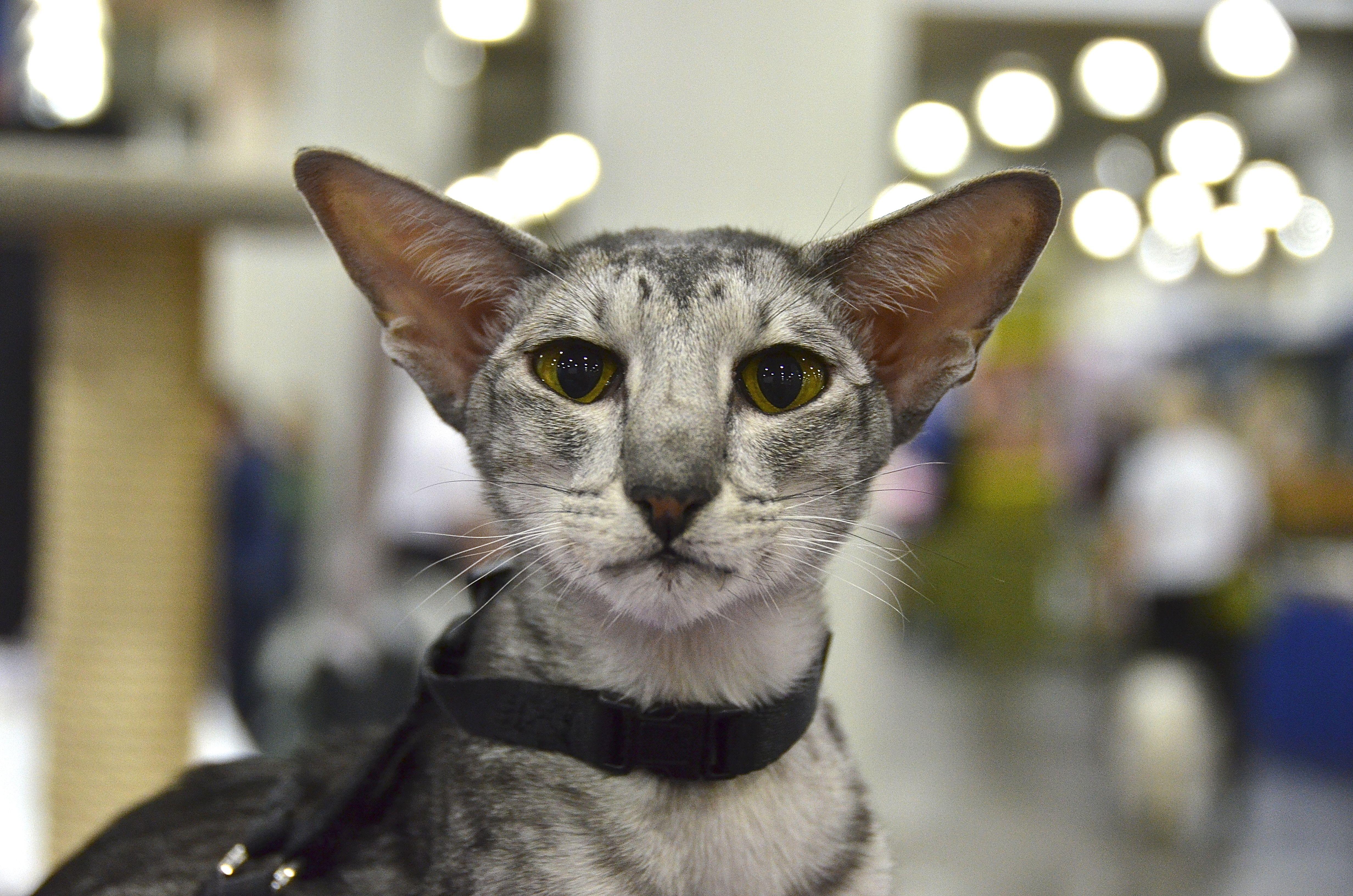 Oriental Shorthair cat Oriental shorthair cats