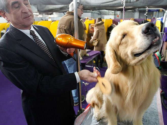 Westminster Kennel Club Dog Show Dogs Getting Ready Photos