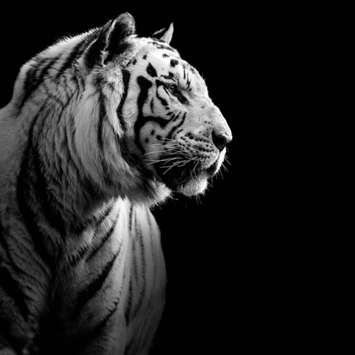 Amazing Black And White Animal Photography By Lukas Holas Tiger Images Tiger Wallpaper Snow Tiger