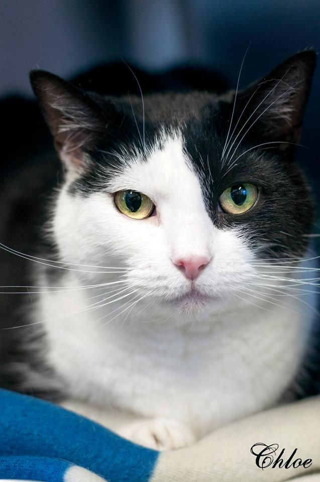 Chloe, DSH Black and White, 7 year old Female. Very sweet and cute!