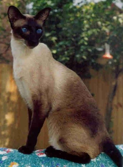 gorgeous example of the seal point Siamese cats | Animals that make