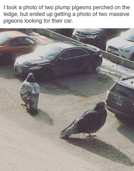 Photo of Massive Pigeons