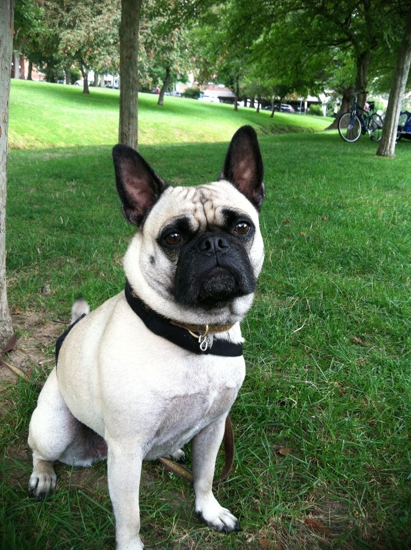 adopt gertie on | frugs (frenchie/pug) | pug puppies, pug mix