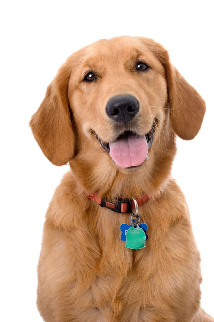 Head And Shoulders Portrait Of A Very Pretty Young Golden Retriever Goldenretriever Golden Retriever Old Golden Retriever Dog Books