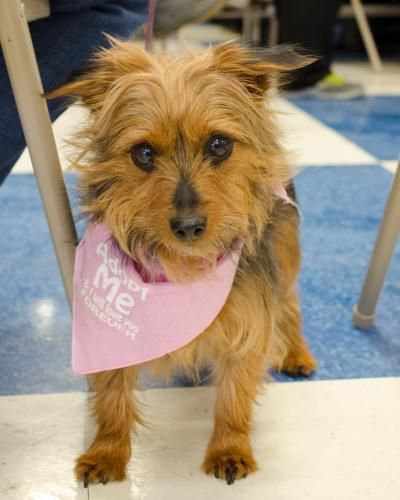Brita is an adoptable Yorkshire Terrier Yorkie, Poodle Dog