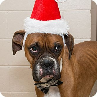 I Am At A Kill Shelter In Troy Oh Boxer Meet Jagger A Dog For Adoption Http Www Adoptapet Com Pet 14468055 Troy Ohio Boxer Dog Adoption Pets Adoption