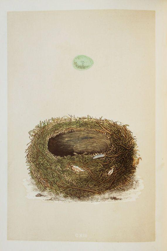 Stonechat Nest & Eggs Reverend Morris 1800s by PaperPopinjay