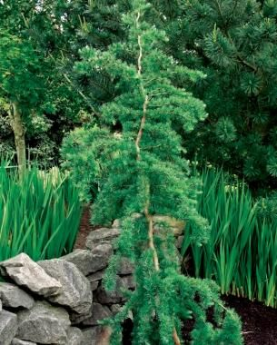 Trees for tight spaces 39 diana weeping larch name larix for Trees for tight spaces