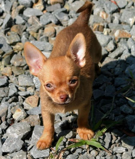 Cody The Chihuahua Dogs Chihuahua Puppies Chihuahua Puppy Find