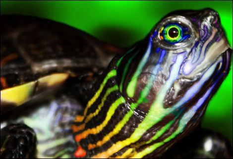 Ravelry: Nina the Rainbow Turtle pattern by Amination