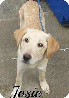 Melbourne Ky Labrador Retriever Mix Meet Josie A Puppy For Adoption Http Www Adoptapet Com Pet With Images Labrador Retriever Puppy Adoption Labrador Retriever Mix