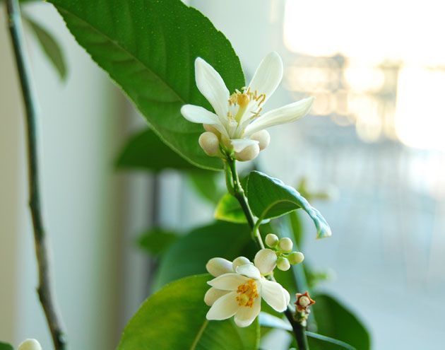 Lemon tree flowers in full bloom