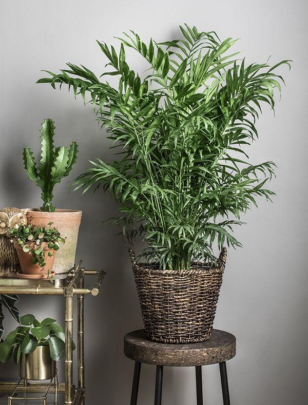 bergpalm chamaedorea elegans plantagen isabelle. Black Bedroom Furniture Sets. Home Design Ideas