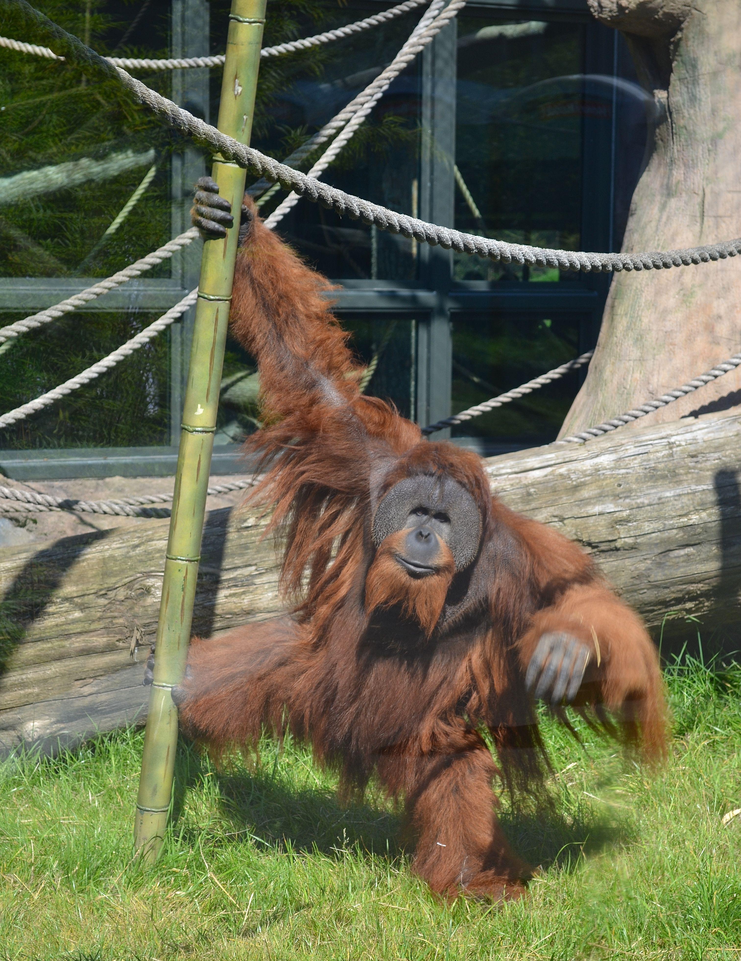 Oregon Zoo: Orangutan At The Portland, Oregon Zoo