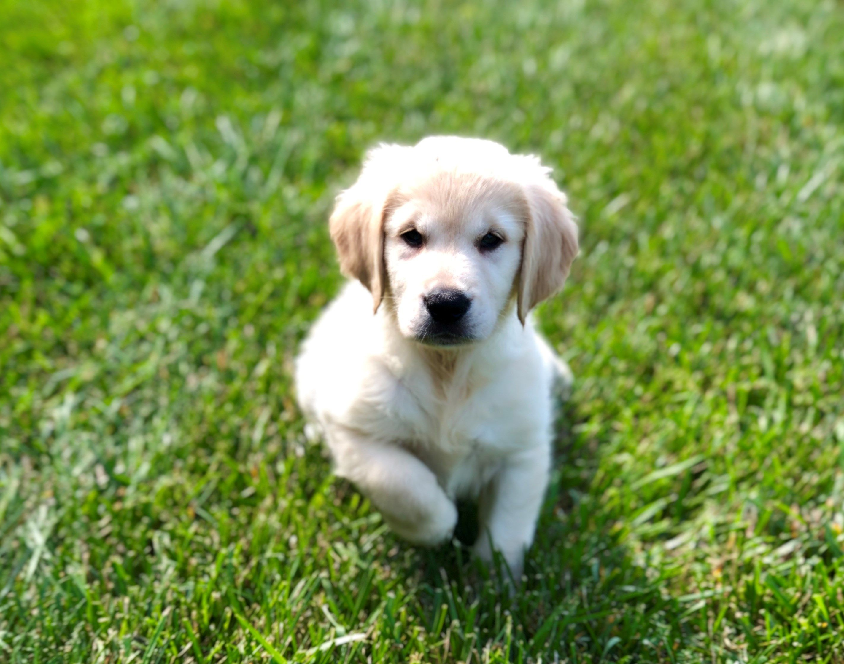 Petland Kansas City Has Golden Retriever Puppies For Sale Check