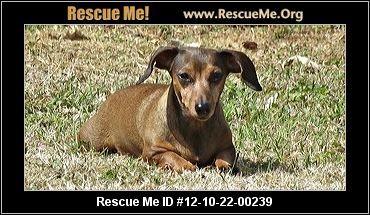 Maiya Oklahoma Dachshund Rescue Adoptions Rescueme Org