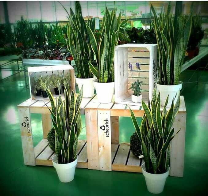 planta llamada lengua de vaca santi prim comunion plants garden y planters. Black Bedroom Furniture Sets. Home Design Ideas
