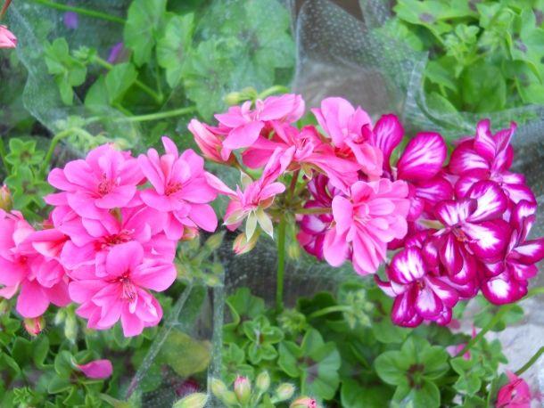 Pelargonie Kwiaty Idealne Na Balkon Plants