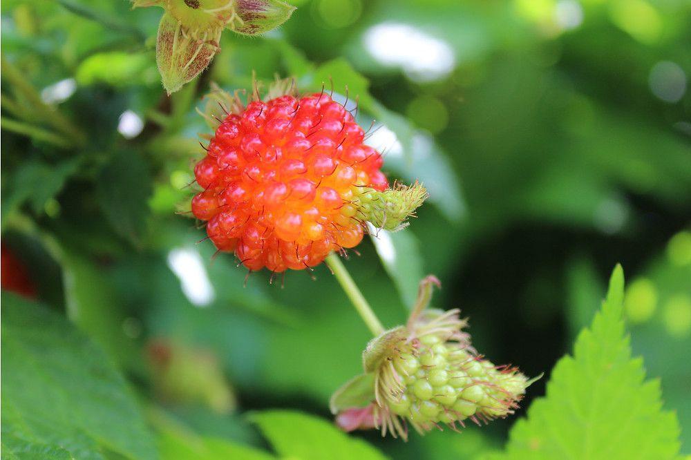 Lubera Himbeere Lachsbeere Pacific Rose Gunstig Online Kaufen Mein Schoner Garten Shop Himbeeren Beeren Gartenprodukte
