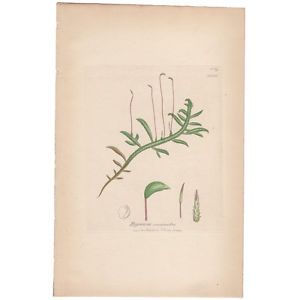 Antique 1841 JAMES SOWERBY hand-colored engraving, Moss Plt 1586 English Botany