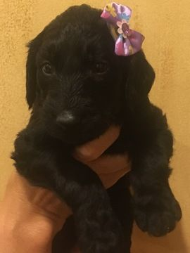 Labradoodle Puppy For Sale In Paducah Ky Adn 42132 On Puppyfinder