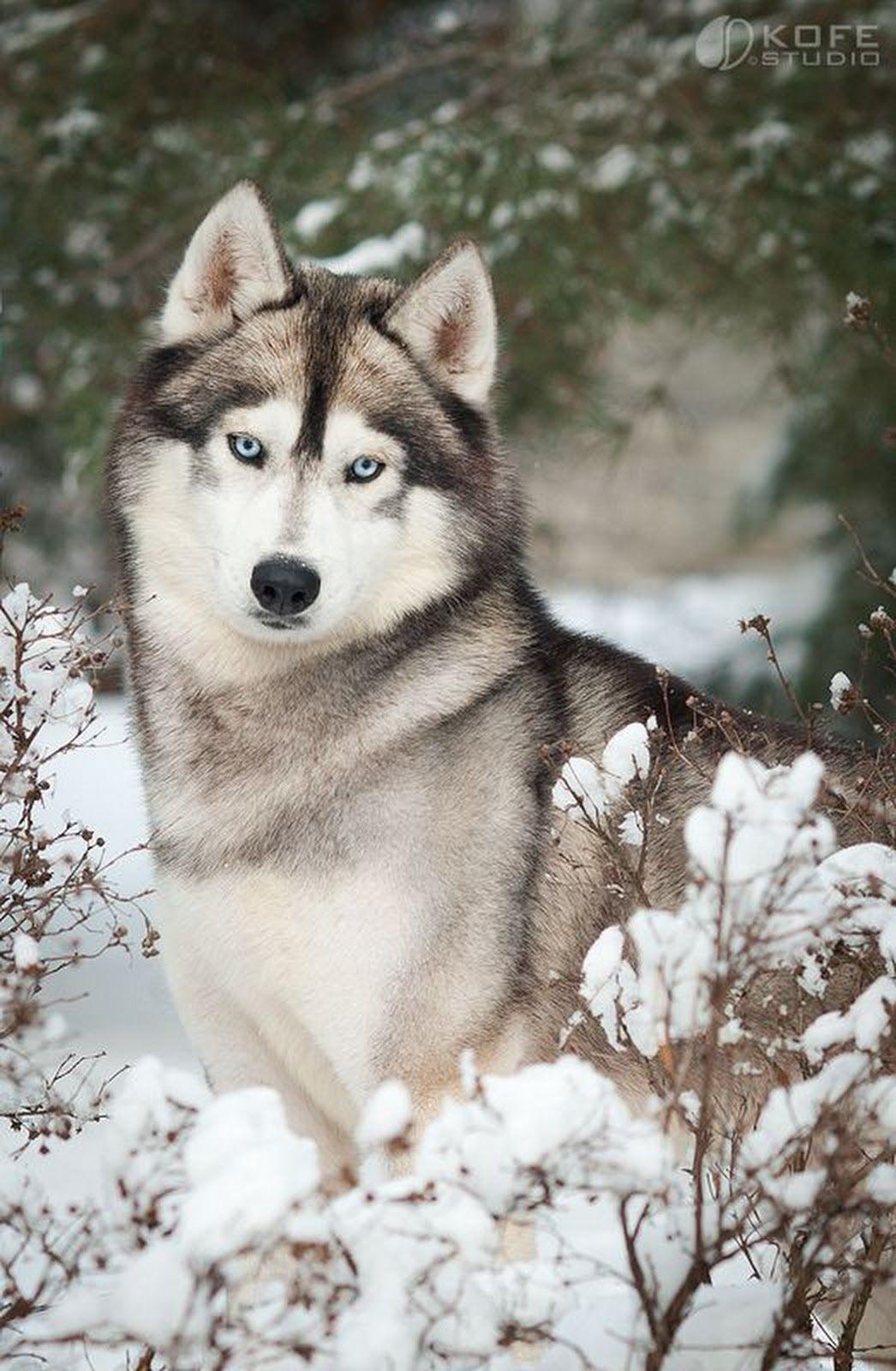 The Siberian Husky Dog Originated In North Eastern Siberia The