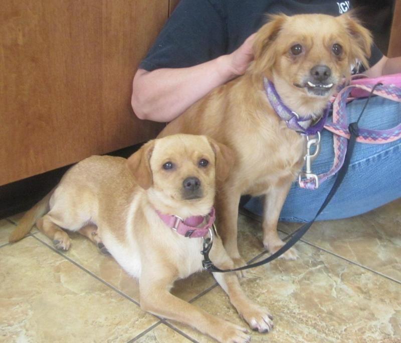 Jambalaya-GENTLE Pomeranian & Pekingese Mix • Adult • Female • Small Second Chance Pet Adoption League Oak Ridge, NJ