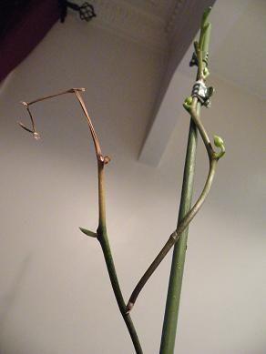 comment entretenir son orchidee pousse d 39 une nouvelle. Black Bedroom Furniture Sets. Home Design Ideas