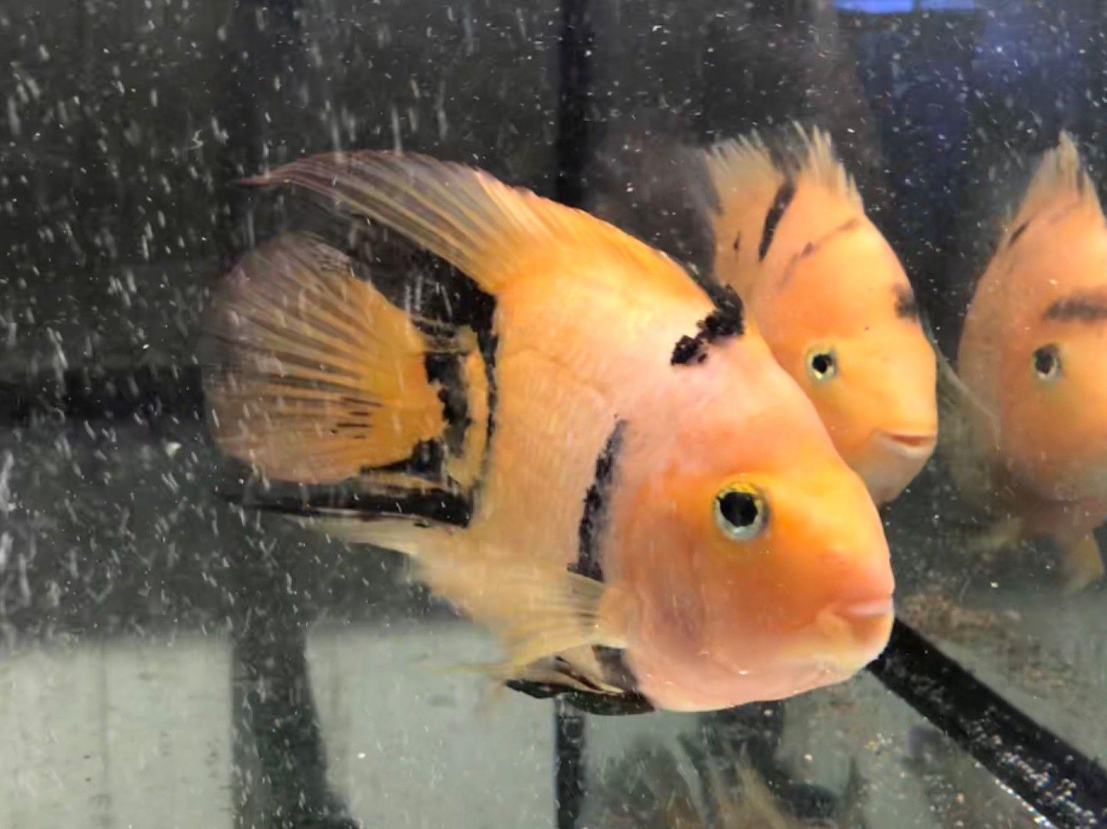 Gold Tiger Parrots Tropical Fish Cichlid Parrot Fish Cichlids Aquarium Fish