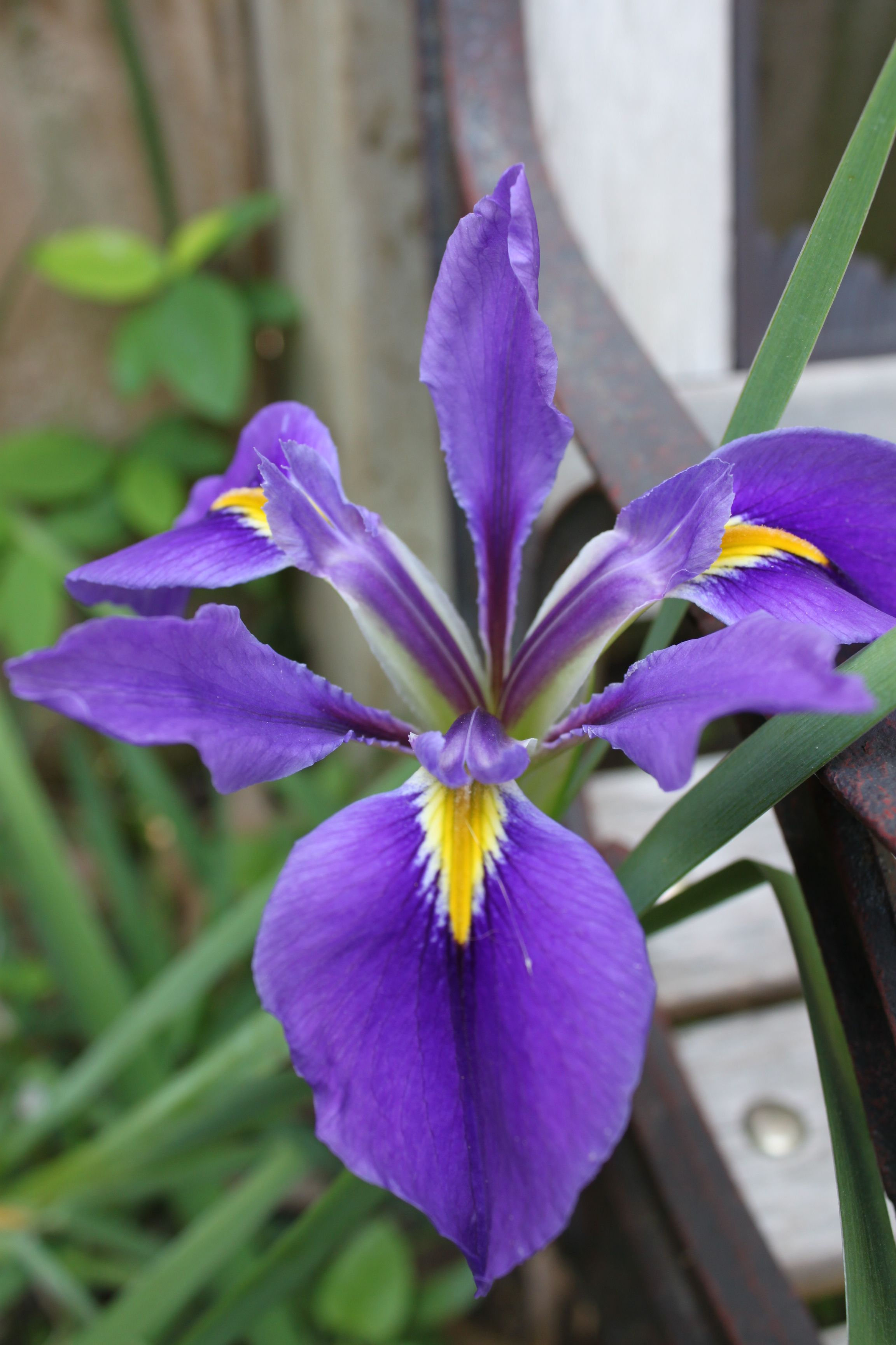 Purple Iris I Split Them And Last Year They Didnt Bloom Im