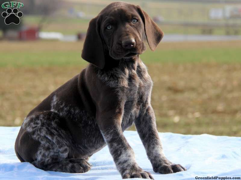 Bruder german shorthaired pointer puppy for sale in ronks