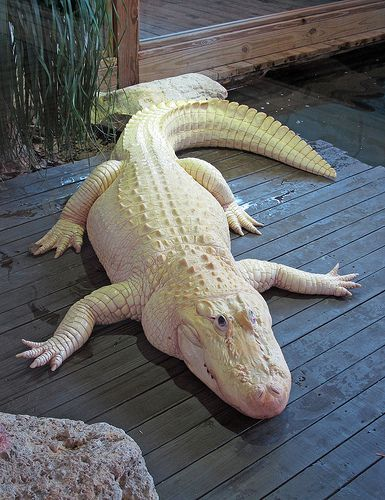 Gatorland Albino Alligator Albino Animals Animals Beautiful