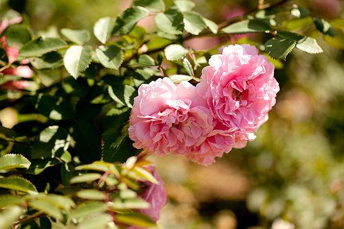 Arboretum - Rose Garden by FestivitiesMN, via Flickr