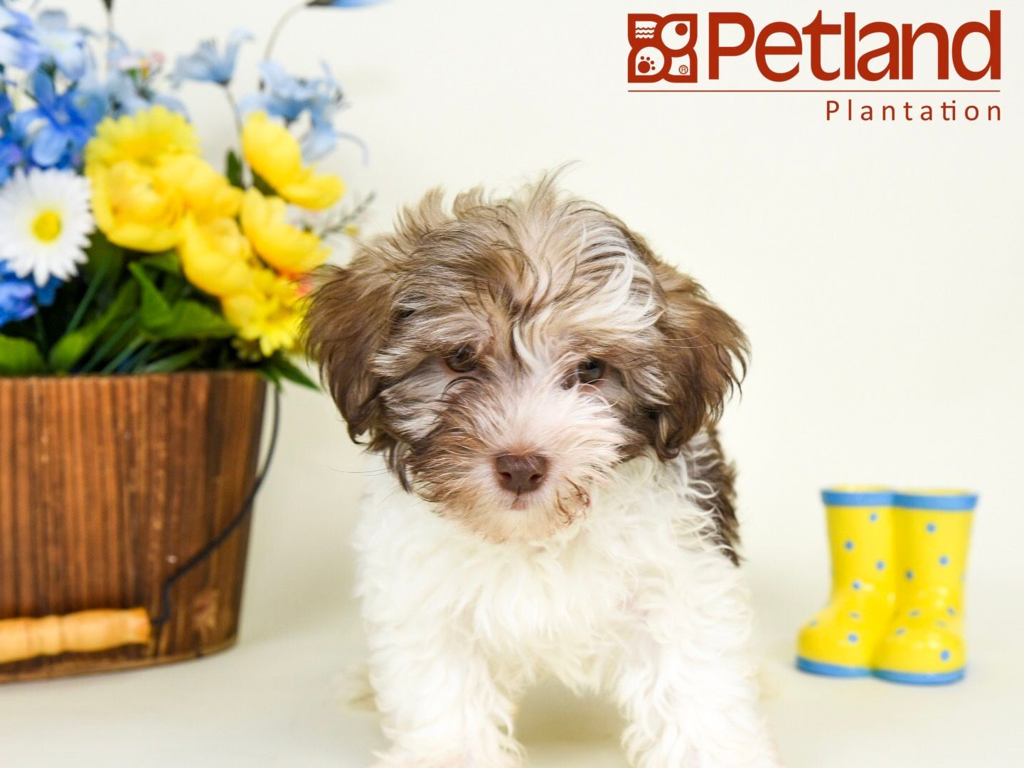 Petland Florida has Havanese puppies for sale! Interested
