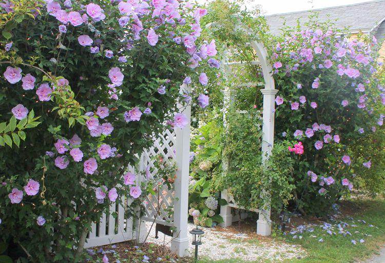 pflanzen als sichtschutz bl hend hibiskus hecke garten pinterest. Black Bedroom Furniture Sets. Home Design Ideas