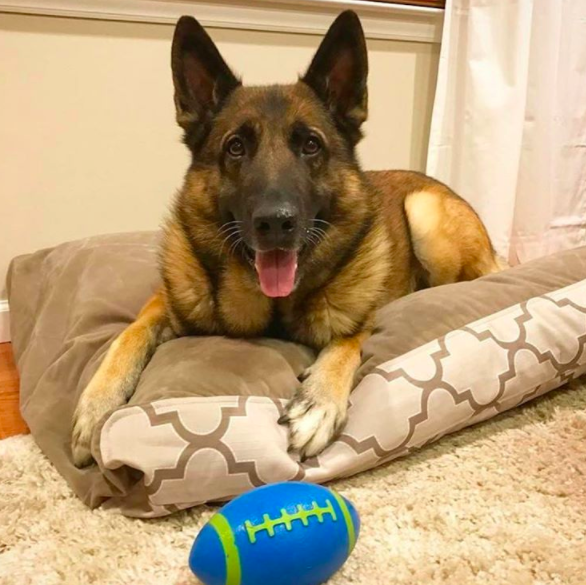 Max loves his new k9_ballistics chew proof bed. He's