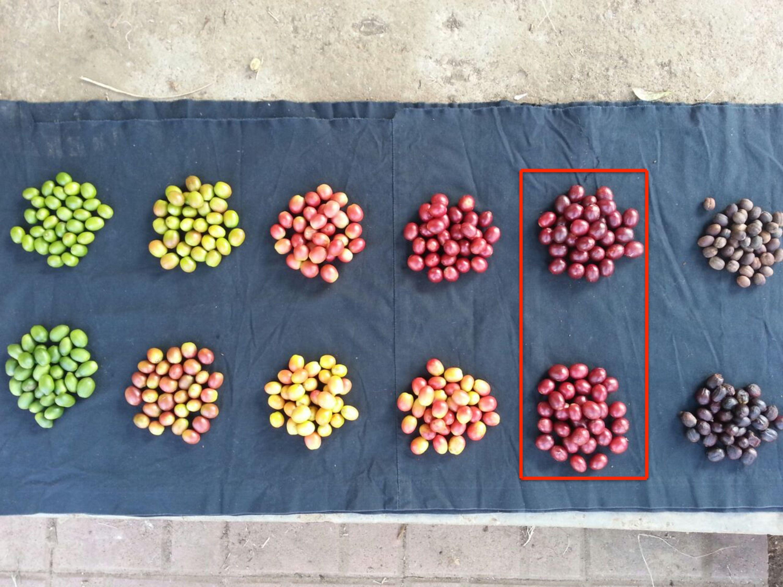 Ciencia: ¿Cómo Identificar Y Mejorar El Estado De Maduración De Los Frutos Del Café? - http://www.perfectdailygrind.com/2016/08/ciencia-como-identificar-y-mejorar-el-estado-de-maduracion-de-los-frutos-del-cafe/