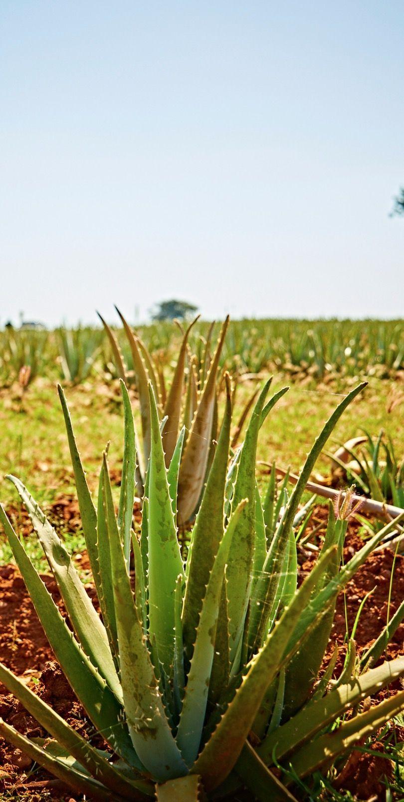 Image Plante Aloe Vera aloe vera : la plante aux 1000 vertus   aloe vera, plants, aloe