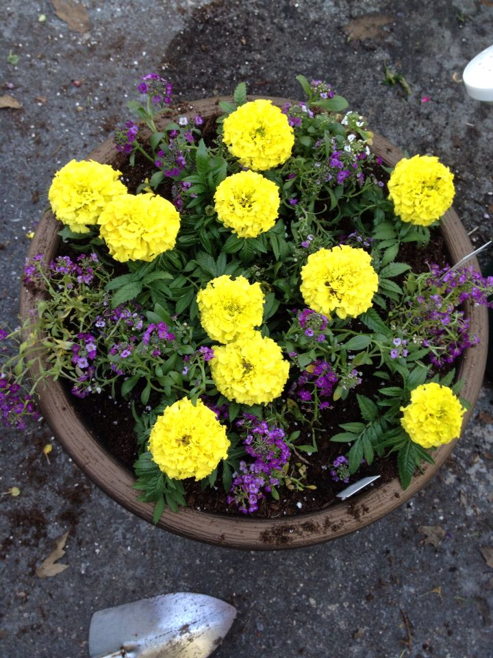 Purple and yellow potted flowers spring pinterest potted purple and yellow potted flowers mightylinksfo