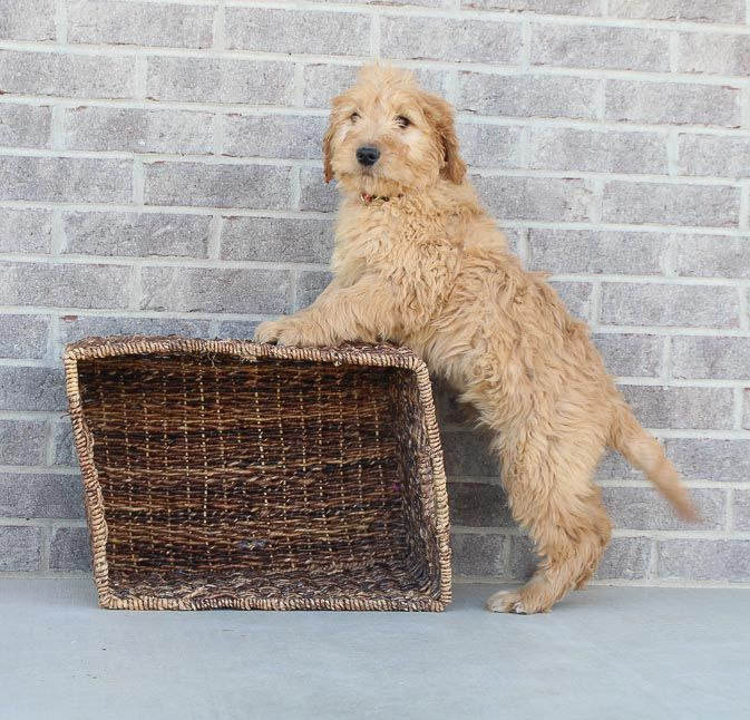 Donald male Goldendoodle puppy for sale in Woodburn