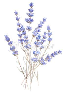 Watercolor Illustration Of Lavender Isolated On White Wasserfarbenblumen Blumenstrauss Tattoo Strauss Tattoo