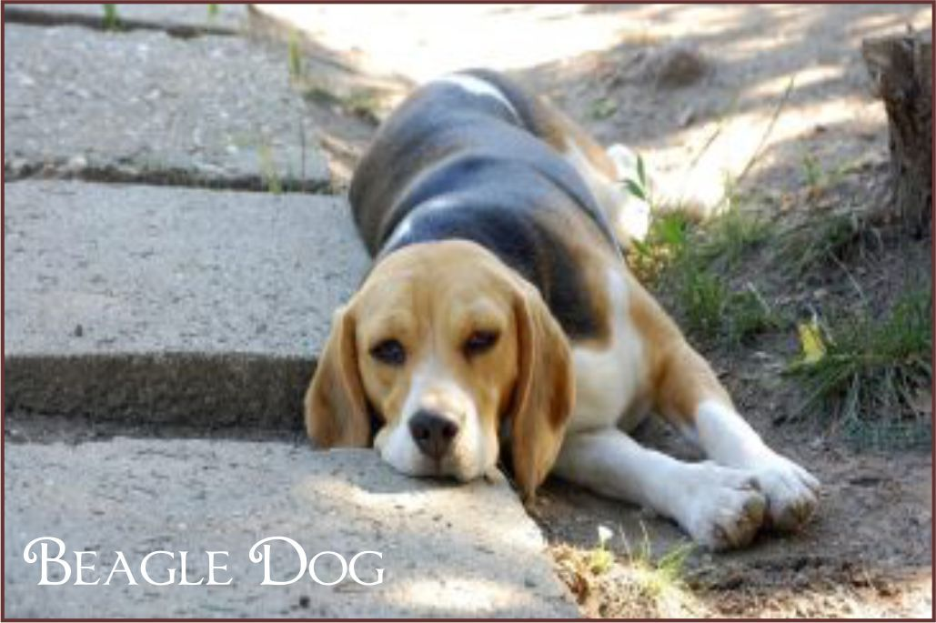 The Beagle Is A Medium Sized Breed Belonging To The Hound Wearing