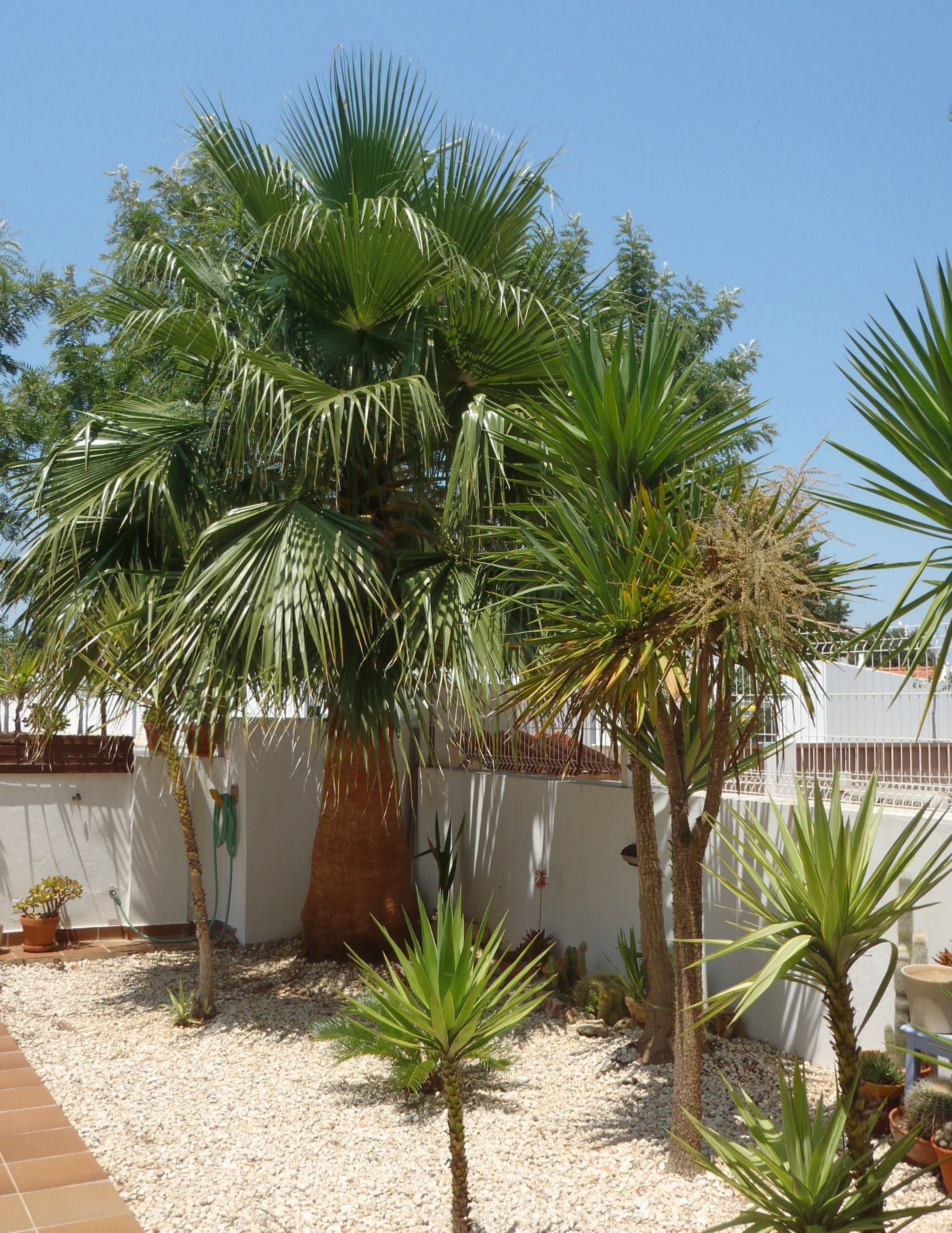 washingtonia palm in my garden palm tree portugal dry garden