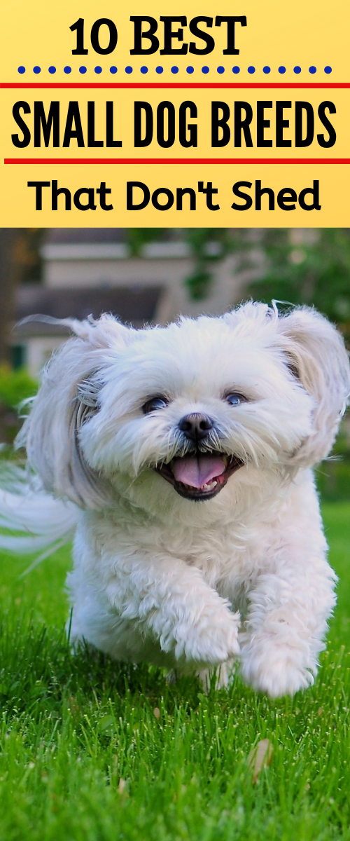 10 Best Small Dog Breeds That Don T Shed Best Pets Supplies Best Small Dogs Dog Breeds Dog Breeds That Dont Shed