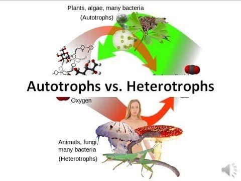 Autotrophs Vs Heterotrophs Youtube Cellular Respiration Organic Molecules Carbon Cycle