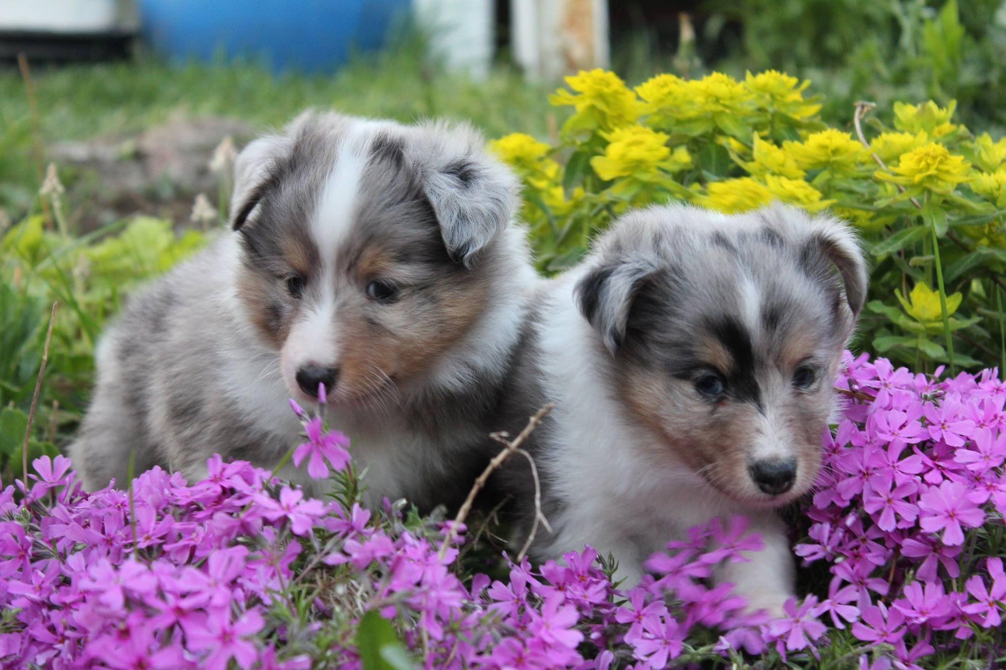 Sweet Sheltie Sibs! (With images) Sheltie