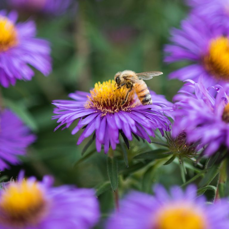 These Plants And Flowers Will Help You Save The Bees Aster Flower Plants To Attract Bees Month Flowers