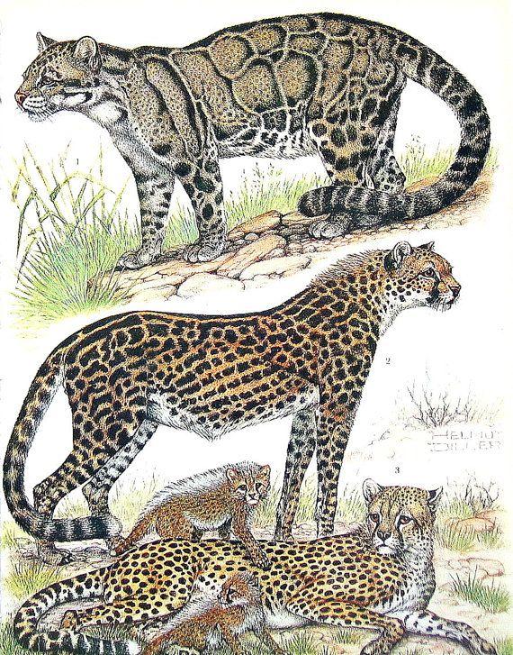 Animales Leopardos Guepardos Y Tigres 1973 Vintage Animals Mammals Clouded Leopard
