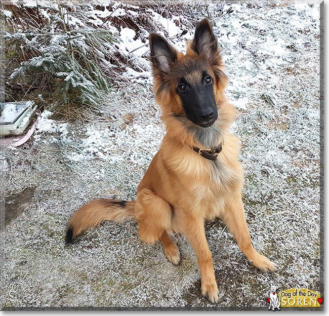 Soren the Belgian Tervuren, the Dog of the Day   Belgian